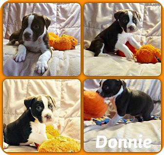 Husky Mix Puppy for adoption in DeForest, Wisconsin - Donnie