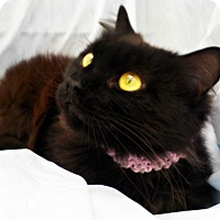 Domestic Longhair Cat for adoption in Ocean Springs, Mississippi - Countess