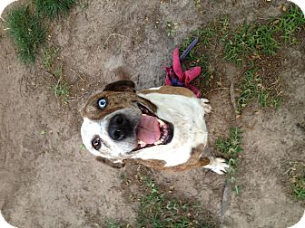 Catahoula Leopard Dog Mix Dog for adoption in Cranford, New Jersey - Janice