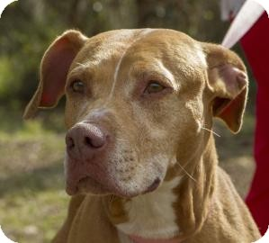 Pit Bull Terrier Mix Dog for adoption in Gainesville, Florida - Buffy