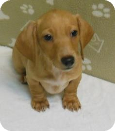 Dachshund Mix Puppy for adoption in Gary, Indiana - Jack