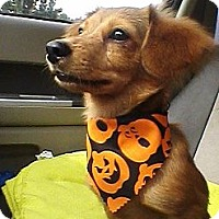 Adopt A Pet :: Cooper - Wytheville, VA