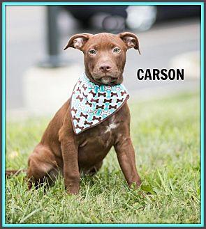 Terrier (Unknown Type, Medium)/Hound (Unknown Type) Mix Puppy for adoption in Elgin, Illinois - Carson