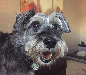 Miniature Schnauzer Dog for adoption in Scottsdale, Arizona - Marti