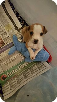 Feist/Mixed Breed (Small) Mix Puppy for adoption in Byhalia, Mississippi - Roscoe