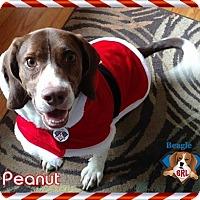 German Shorthaired Pointer/Beagle Mix Dog for adoption in Yardley, Pennsylvania - Peanut