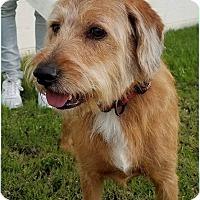 Irish Terrier/Retriever (Unknown Type) Mix Dog for adoption in Phoenix, Arizona - Murphy