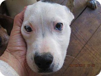 Jack Russell Terrier/Feist Mix Puppy for adoption in Williston Park, New York - EMMETT