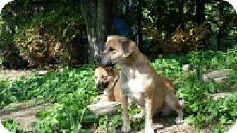 Hound (Unknown Type) Mix Dog for adoption in Cambridge, Ontario - Satcha & Akira ( bonded pair)