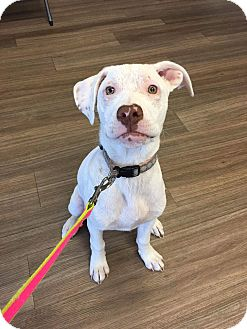 Labrador Retriever/American Staffordshire Terrier Mix Dog for adoption in joliet, Illinois - GINGER