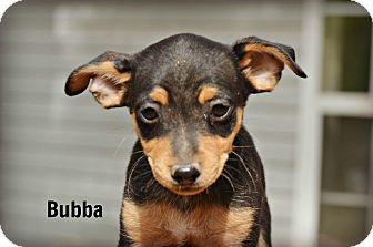 Rat Terrier/Beagle Mix Puppy for adoption in Glastonbury, Connecticut - Bubba