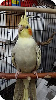 Cockatiel for adoption in Elizabeth, Colorado - Whitebird