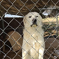 Adopt A Pet :: Hercules LGD - Kyle, TX