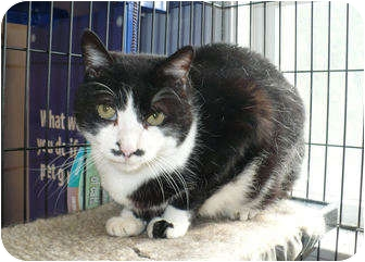 Domestic Shorthair Cat for adoption in Colmar, Pennsylvania - Chaplin