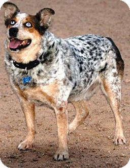 Australian Shepherd/Australian Cattle Dog Mix Dog for adoption in Gilbert, Arizona - Lucky