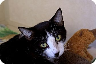 Domestic Shorthair Cat for adoption in Chicago, Illinois - Lamé