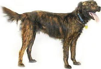 Border Collie/Dutch Shepherd Mix Dog for adoption in Inverness, Florida - Dodge