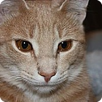 Adopt A Pet :: Tangelo (LE) - Little Falls, NJ