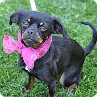 Adopt A Pet :: Sunday - Los Angeles, CA