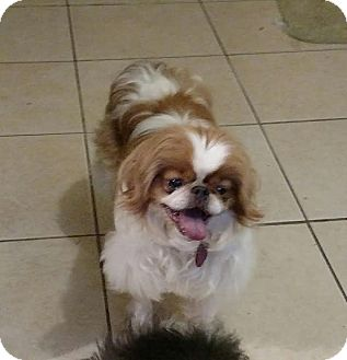 Japanese Chin Dog for adoption in Detroit, Michigan - Winston Churchill-Adopted!