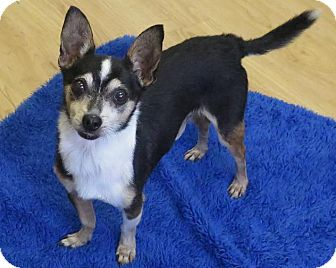 Toy Fox Terrier/Chihuahua Mix Dog for adoption in High Point, North Carolina - Tippy