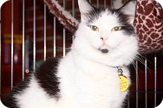Domestic Longhair Cat for adoption in Saint Augustine, Florida - Sweetie