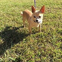Chihuahua Dog for adoption in Baton Rouge, Louisiana - Jojo