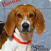Adopt A Pet :: Bandit - Valparaiso, IN