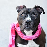 Adopt A Pet :: Apollo(ACC) - Whitestone, NY