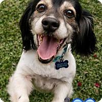 Adopt A Pet :: Bernardo (Bernie) 'cat friendly' - Los Angeles, CA