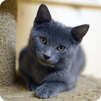 Domestic Shorthair Kitten for adoption in Tucson, Arizona - Macavity