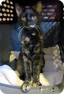 Domestic Shorthair Kitten for adoption in Long Beach, California - Sophie