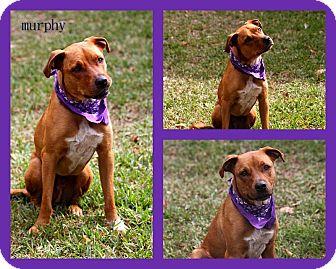Shepherd (Unknown Type)/Labrador Retriever Mix Puppy for adoption in hollywood, Florida - Murphy