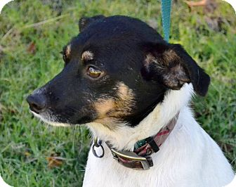 Terrier (Unknown Type, Small)/Rat Terrier Mix Dog for adoption in Searcy, Arkansas - ToTo