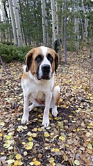 St. Bernard Mix Dog for adoption in Denver, Colorado - Katie