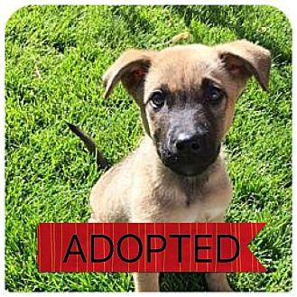 Shepherd (Unknown Type)/Labrador Retriever Mix Puppy for adoption in Regina, Saskatchewan - Aida