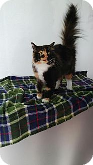 Domestic Longhair Cat for adoption in China, Michigan - Pebbles