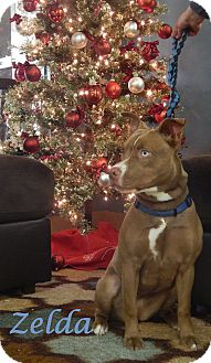 Husky/American Staffordshire Terrier Mix Dog for adoption in Bucyrus, Ohio - Zelda
