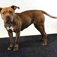 Pit Bull Terrier Mix Dog for adoption in Sanford, Florida - DAISY