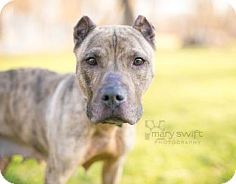 Presa Canario/Mixed Breed (Medium) Mix Dog for adoption in Reisterstown, Maryland - Martha