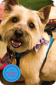 Cairn Terrier Mix Dog for adoption in Staten Island, New York - Murphy