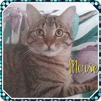 Domestic Shorthair Kitten for adoption in Cedar Springs, Michigan - Mouse