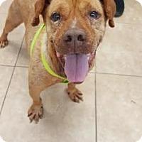 Adopt A Pet :: Caboose - Reisterstown, MD