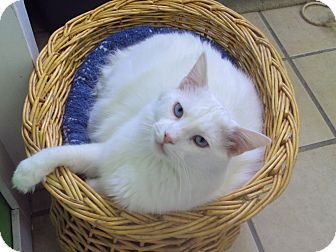 Domestic Longhair Cat for adoption in Memphis, Tennessee - Sinatra