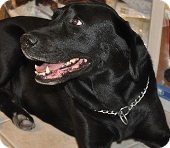 Labrador Retriever Dog for adoption in Scottsdale, Arizona - Charra