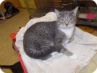 Domestic Shorthair Cat for adoption in Iroquois, Illinois - Bo Jangles