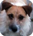 Jack Russell Terrier Dog for adoption in Rhinebeck, New York - Junior
