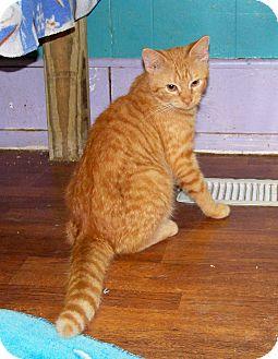 Domestic Shorthair Cat for adoption in Dover, Ohio - Holligan