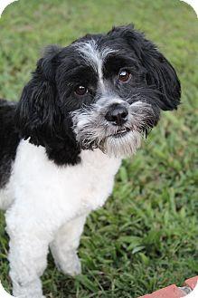 Poodle (Miniature)/Shih Tzu Mix Dog for adoption in Hamburg, Pennsylvania - Thunder