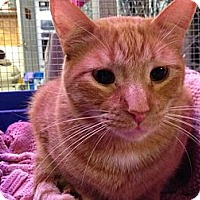 Domestic Shorthair Cat for adoption in Estherville, Iowa - Twix